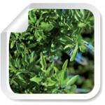 almendro_plantas-de-almendro-certificadas